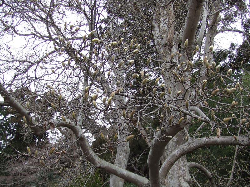 令和3年3月20日 陸奥総社宮の白木蓮(ハクモクレン)