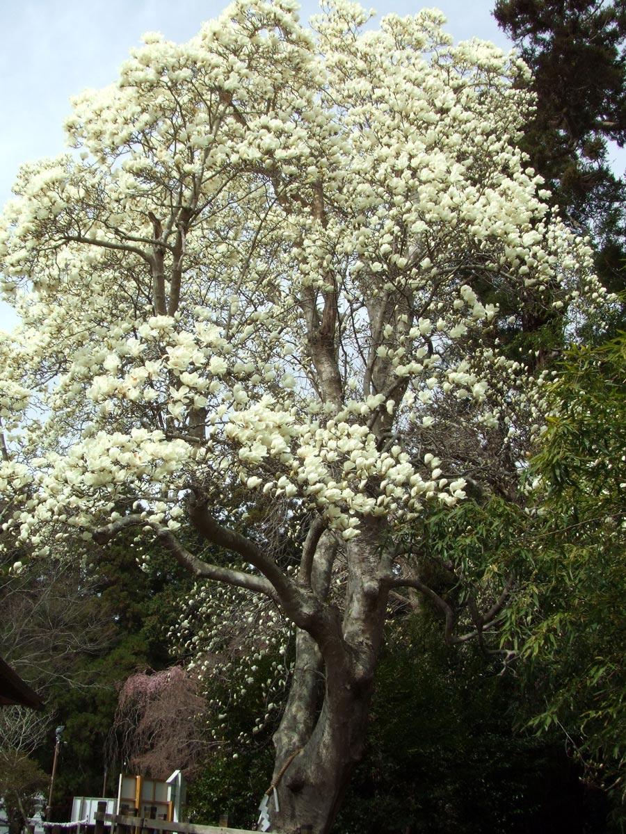 令和3年3月30日 陸奥総社宮の白木蓮(ハクモクレン)
