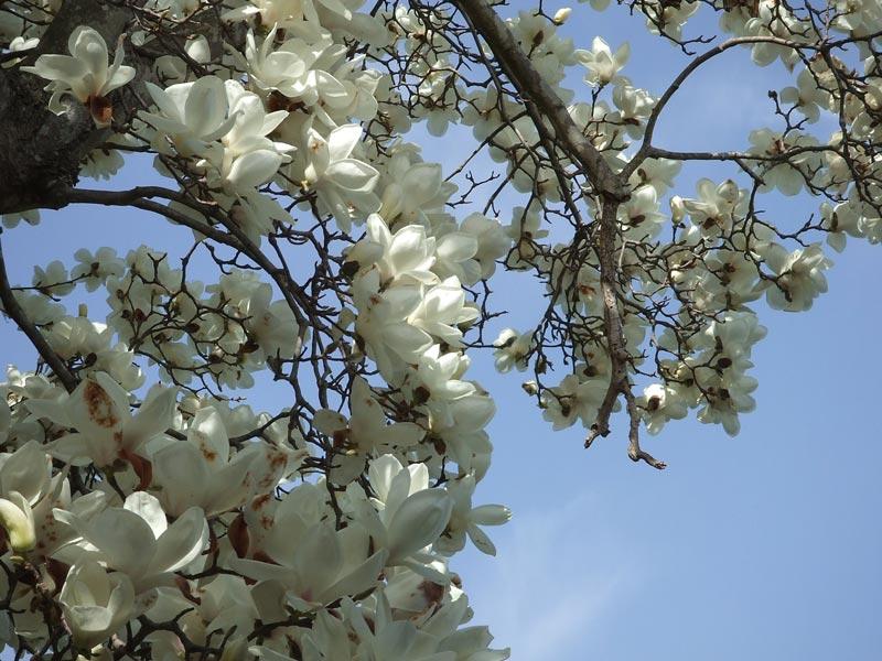 令和3年3月31日 陸奥総社宮の白木蓮(ハクモクレン)
